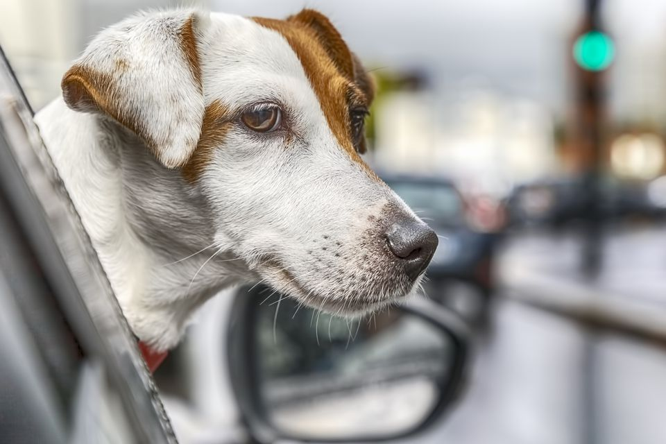 Travelling With Pet, Jack Russell's Head Out Car Window