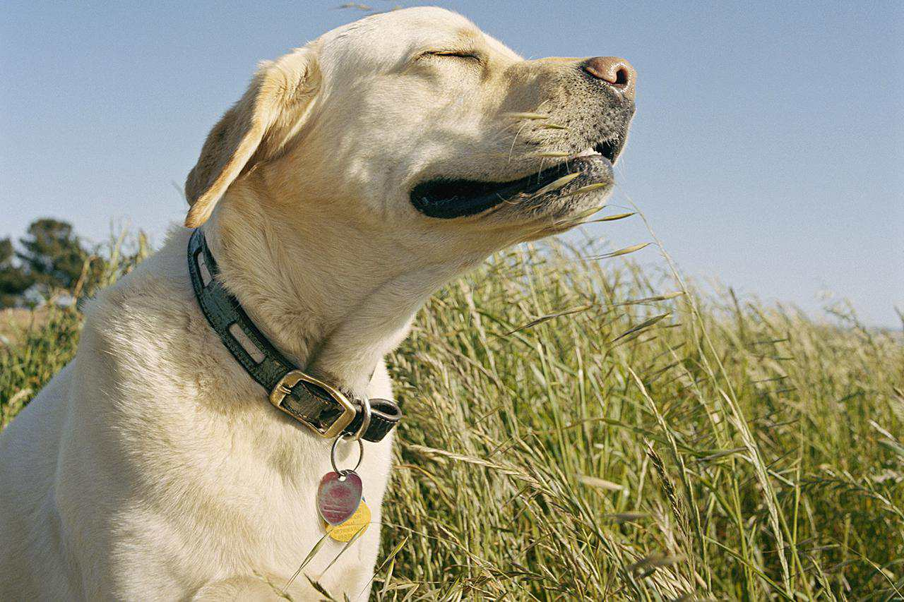 Golden Retriever sunbathing in tall grass
