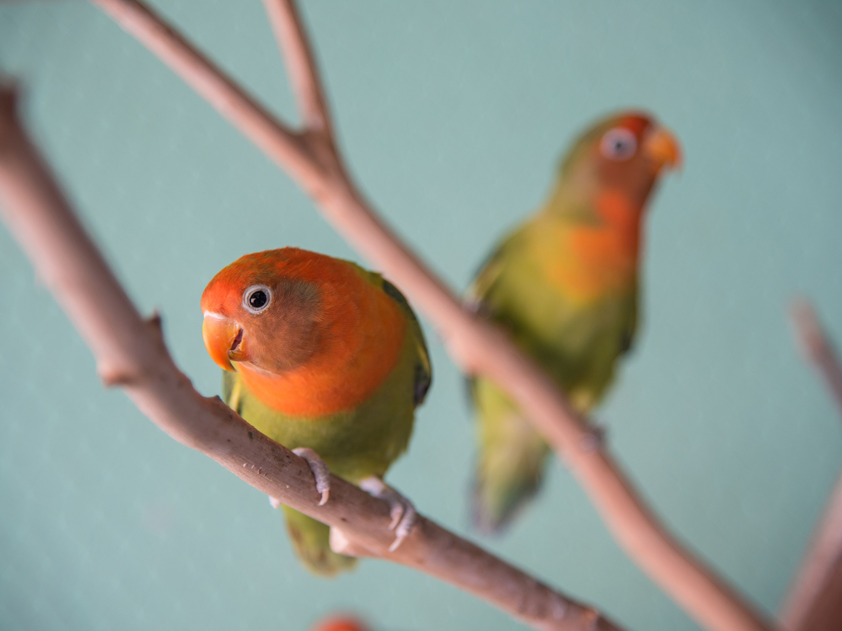 Lovebirds Species Profile