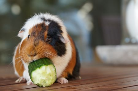 how to treat the five most common guinea pig diseases