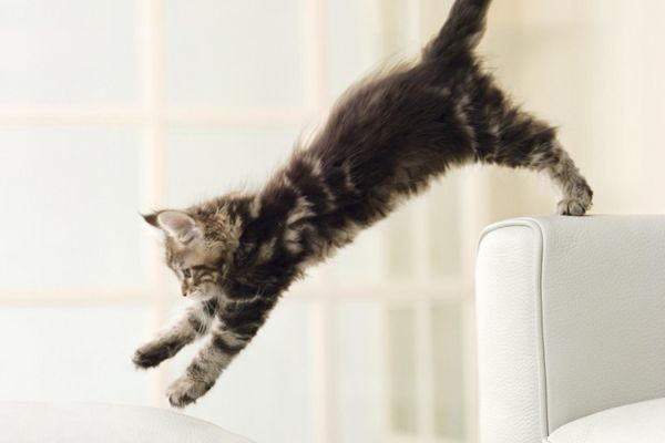 Maine Coon kitten jumping from couch to ottoman