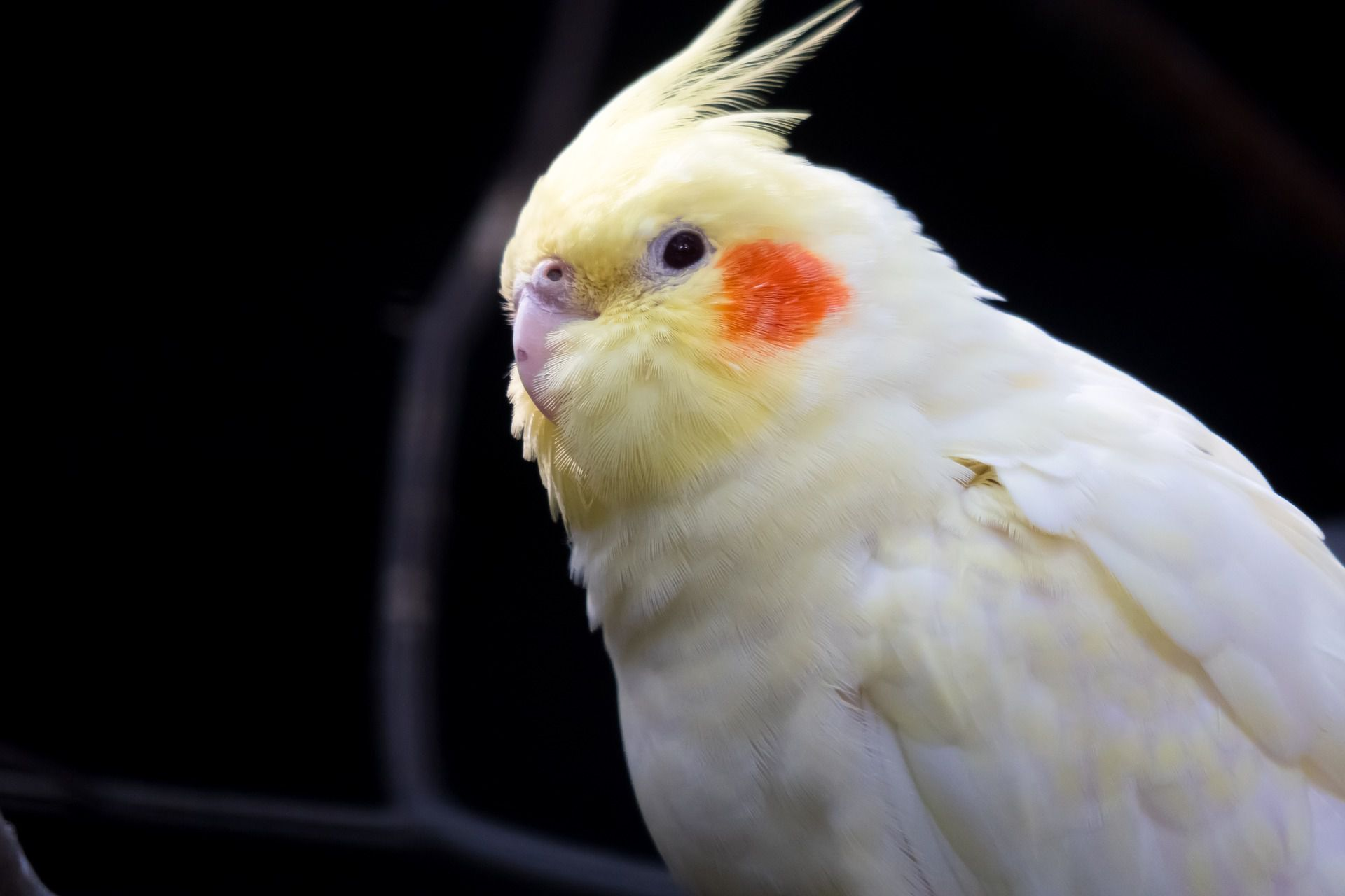 A close-up of a cockatiel.