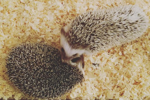 Two hedgehogs viewed from above on pine shavings