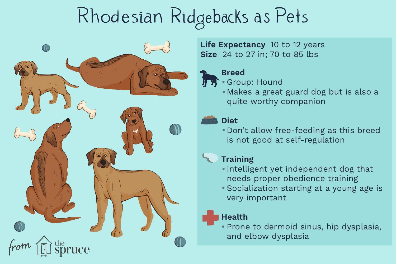 rhodesian ridgebacks as pets illustration