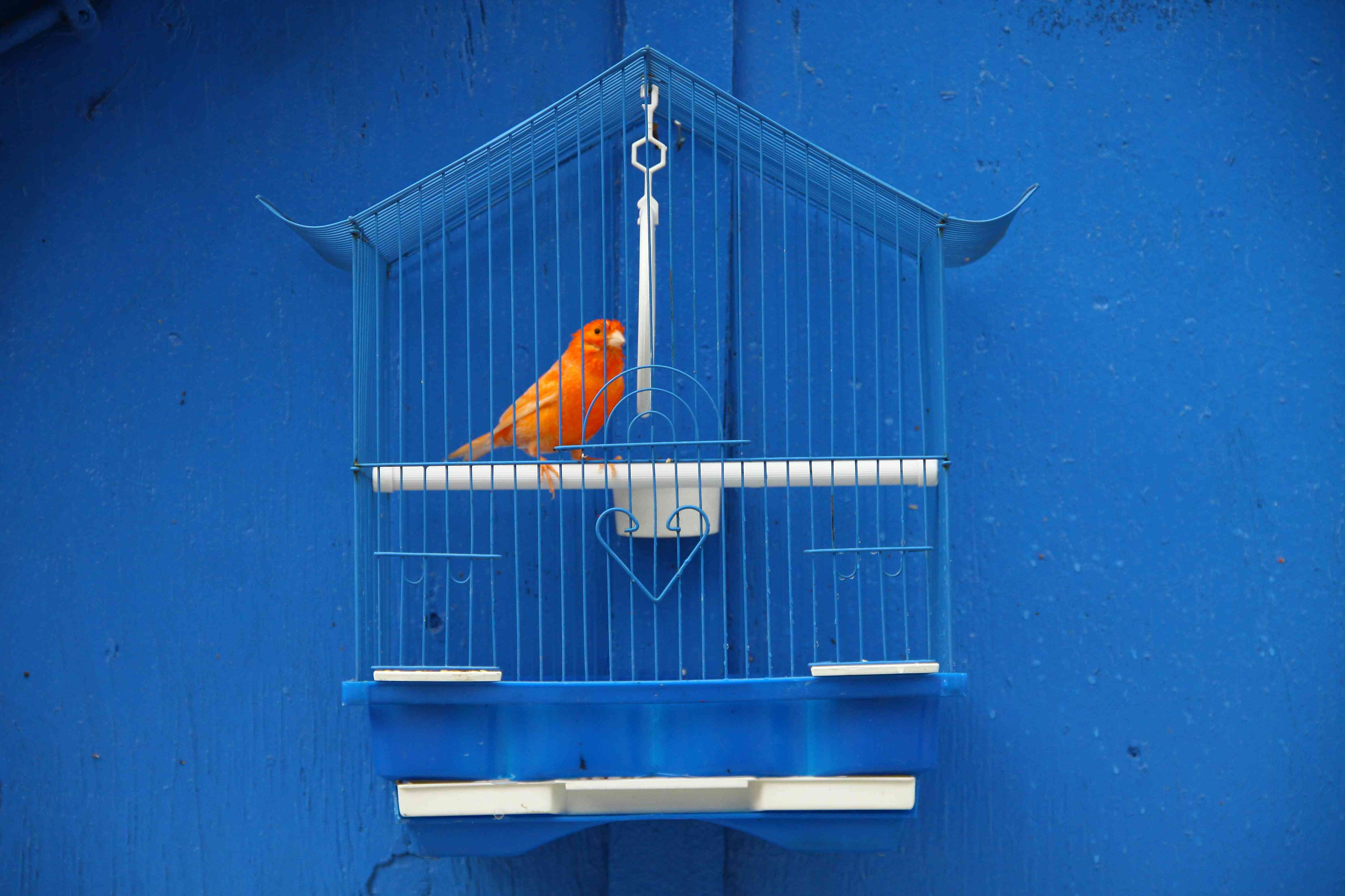 red canary in blue cage against blue wall