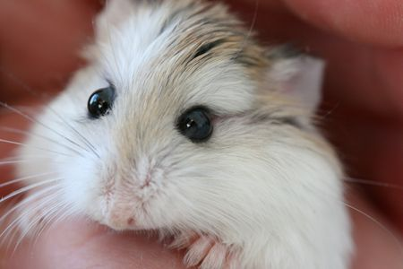 Keeping Hamsters as Pets - Caring for Hamsters