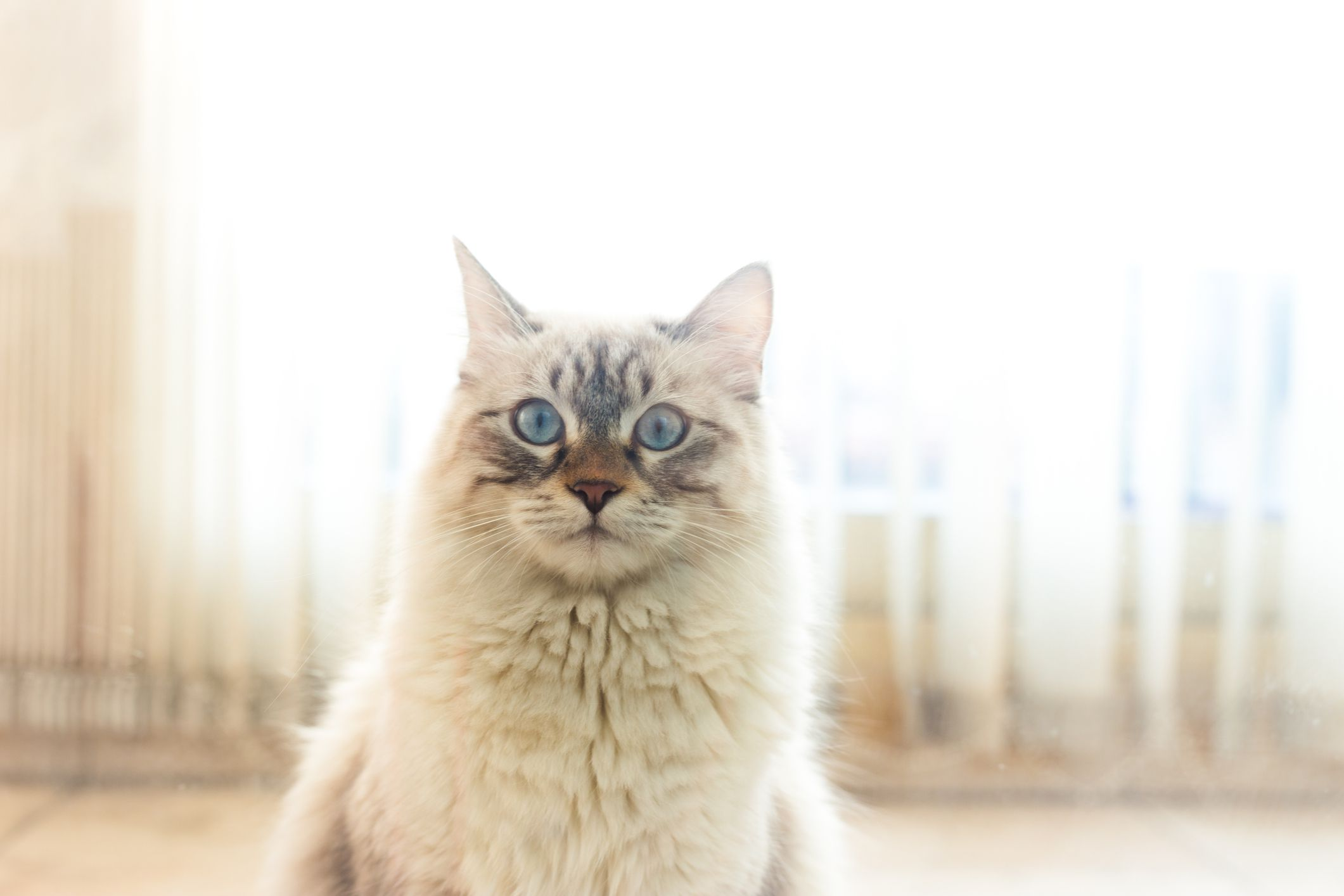 A long-haired white and tan cat with blue eyes looking at the camera standing in front of white curtains.