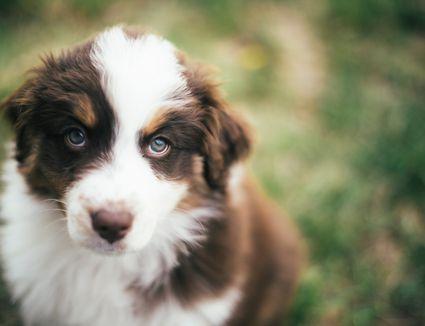 An Australian shepherd puppy