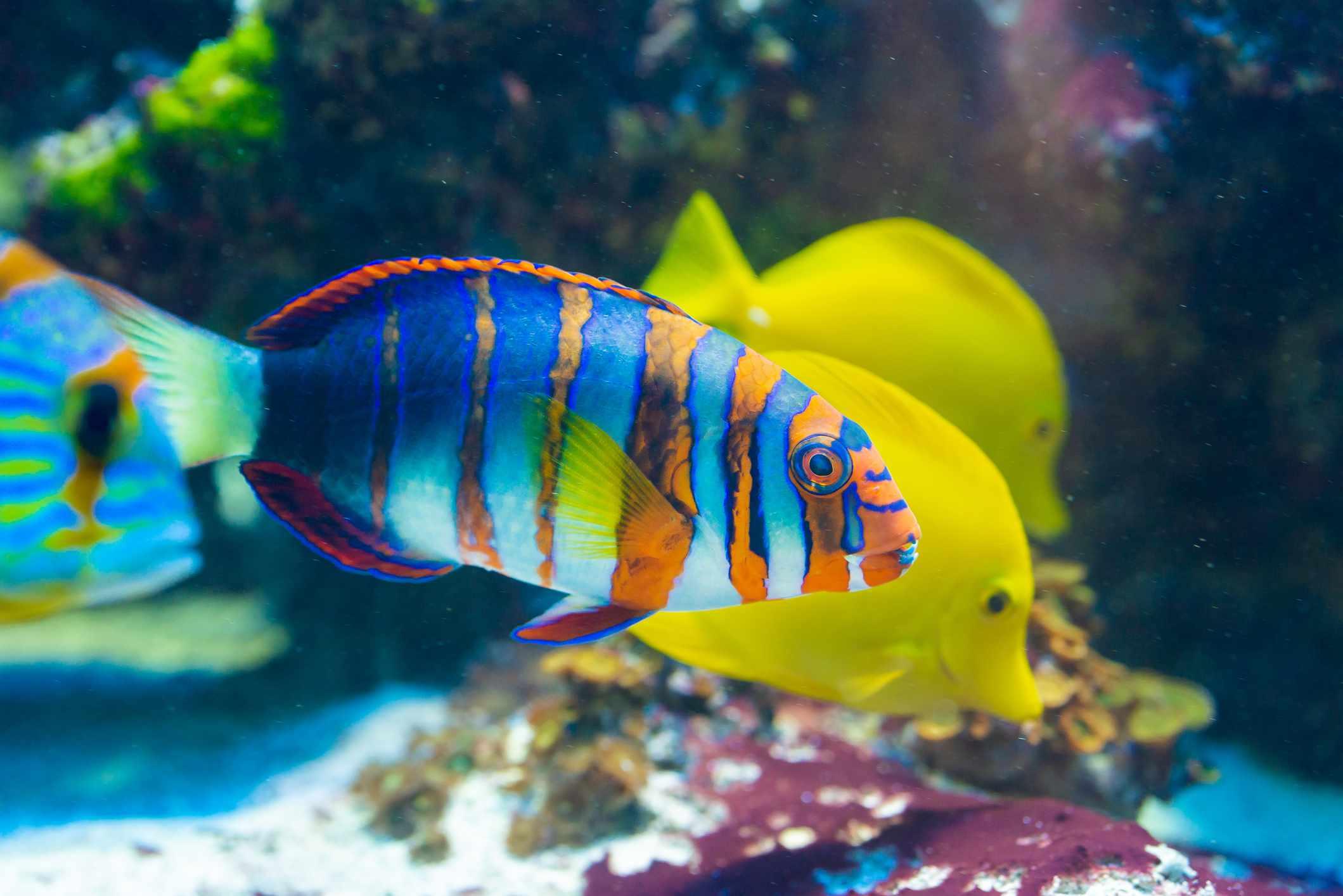 Choerodon fasciatus - Harlequin tuskfish