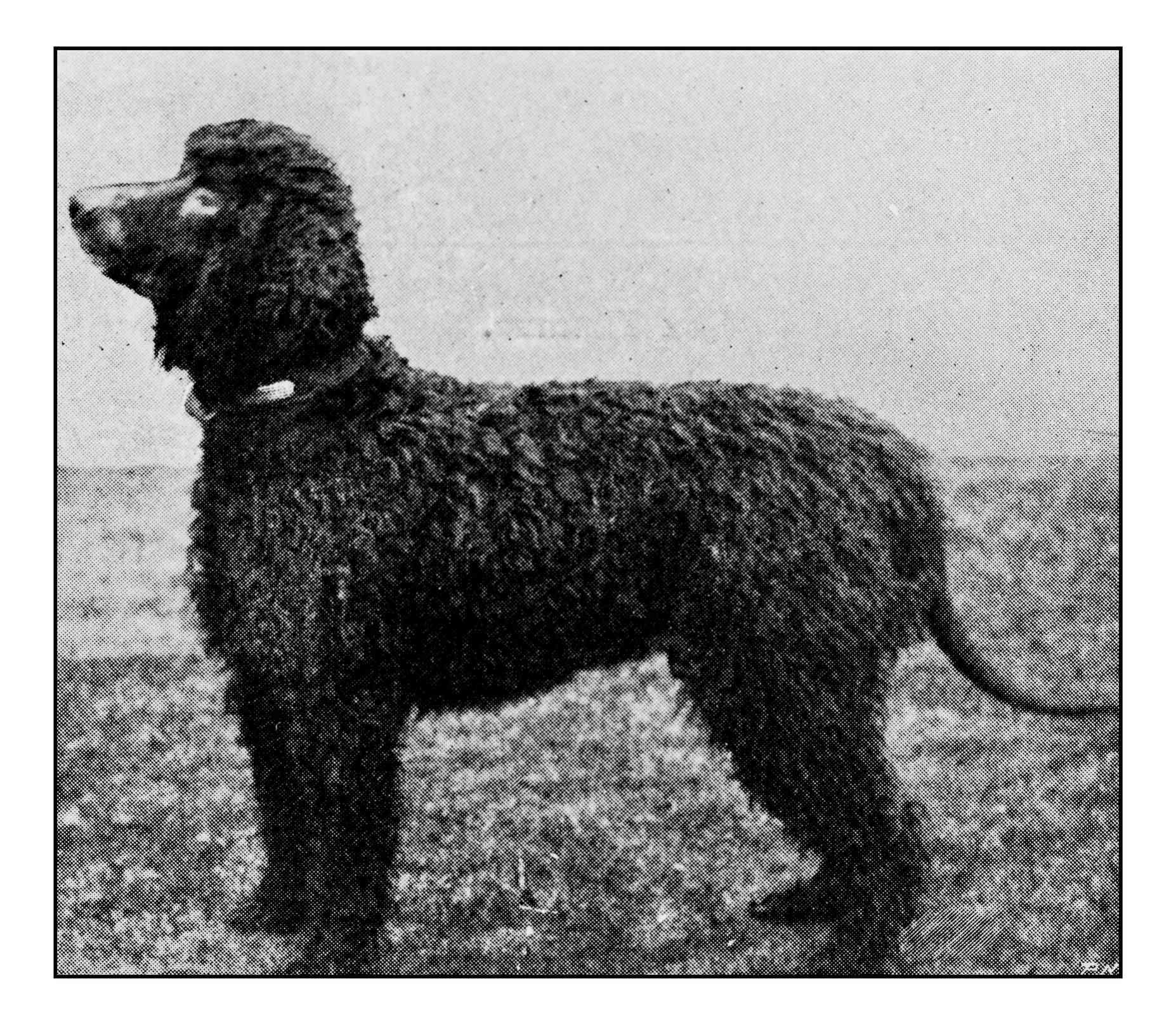 Antique dotprinted photograph of dog: Irish water spaniel
