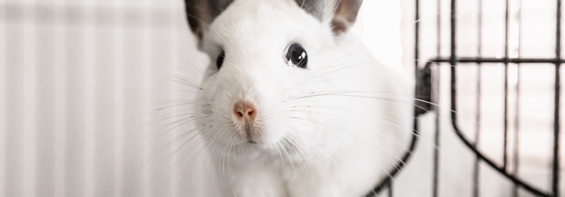 White chinchilla with large gray ears standing in wire cage