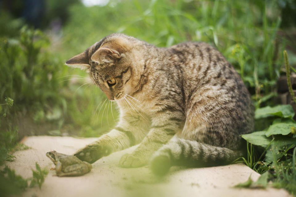 Gato jugando con una rana en un jardín.