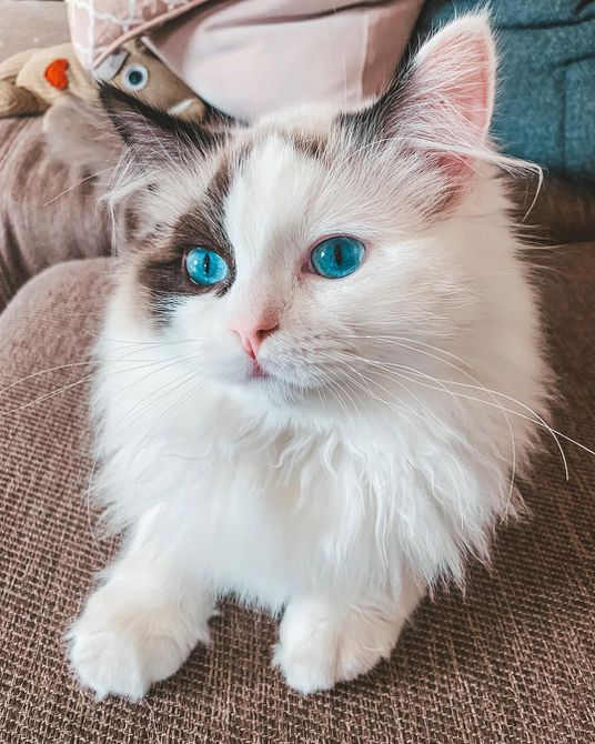 A close-up of a ragdoll cat with blue eyes