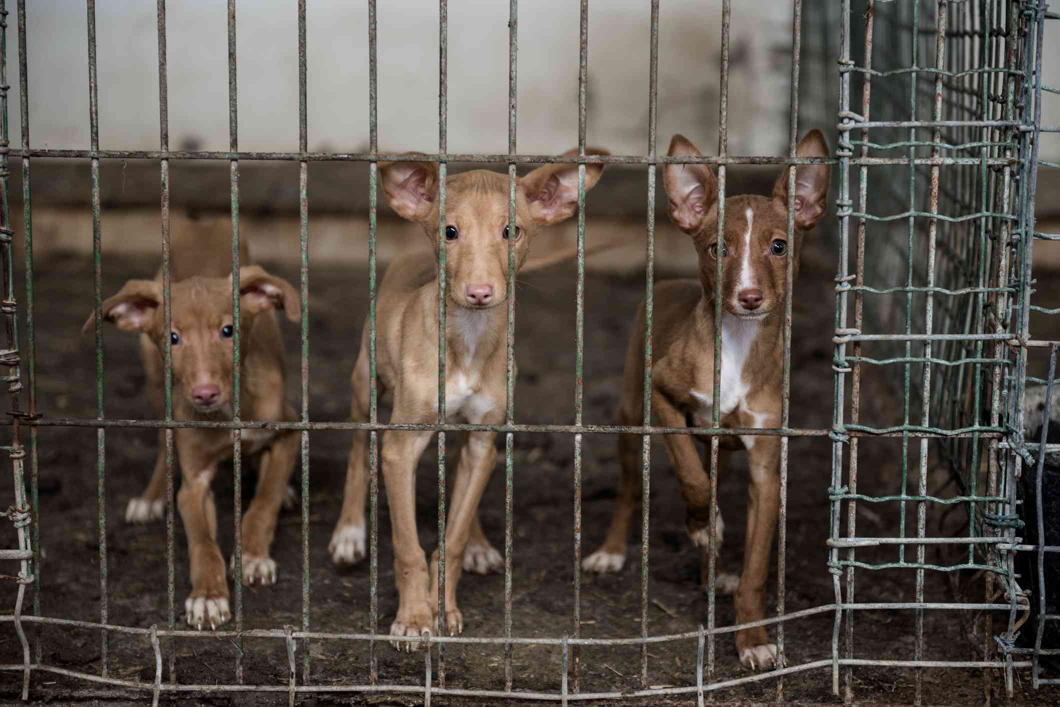 Podenco Puppies