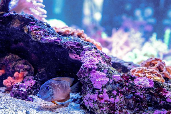 Spotted fish swimming opposite a pink spotted rock in saltwater tank
