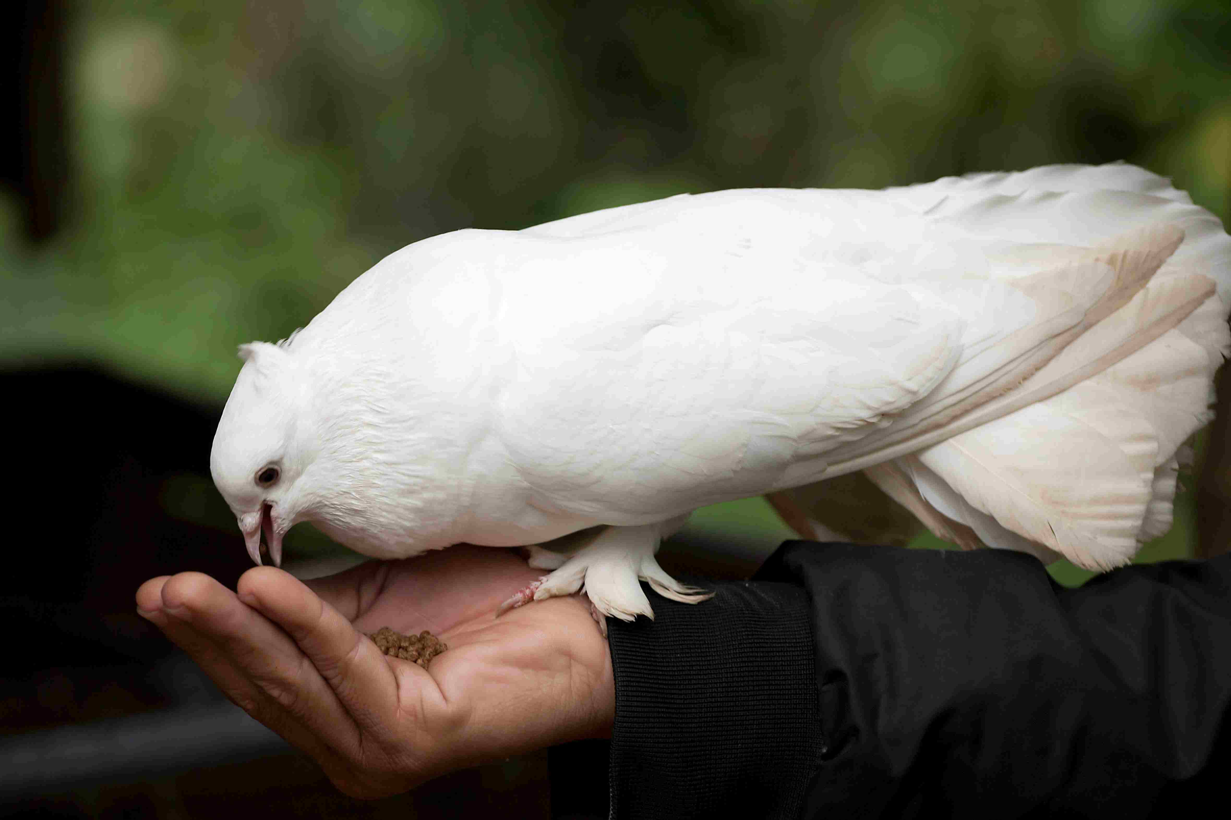 White dove eating out of a person's hand