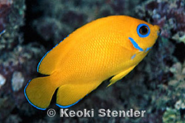 Lemonpeel Angelfish (Centropyge flavissimus)
