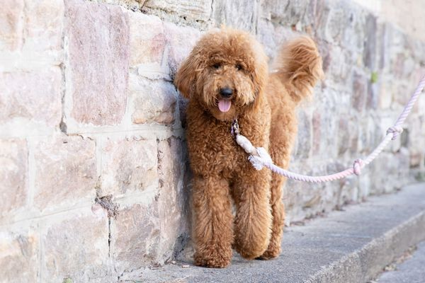 Goldendoodle dog walking with rope leash near brick wall