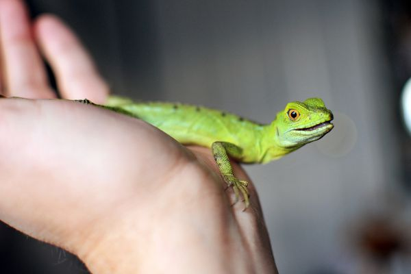 small iguana on a person's hand
