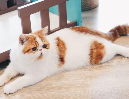 Persian cat laying down