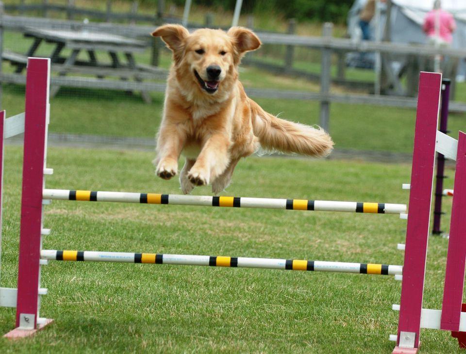 Golden Retriever Doing Agility Training