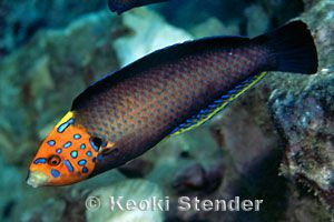 Male Redtail Wrasse (Anampses chrysocephalus)