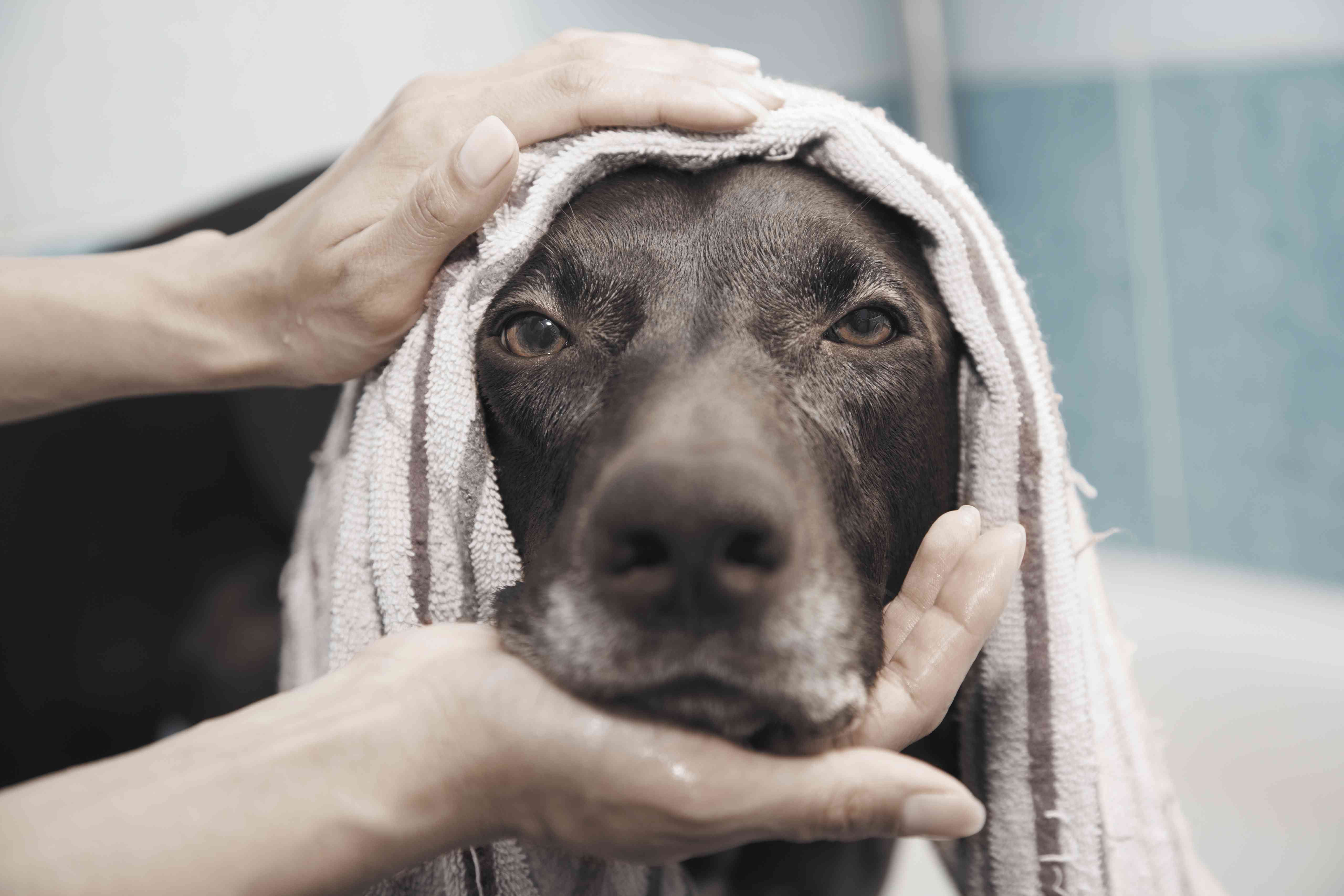A dog with a towel on its head