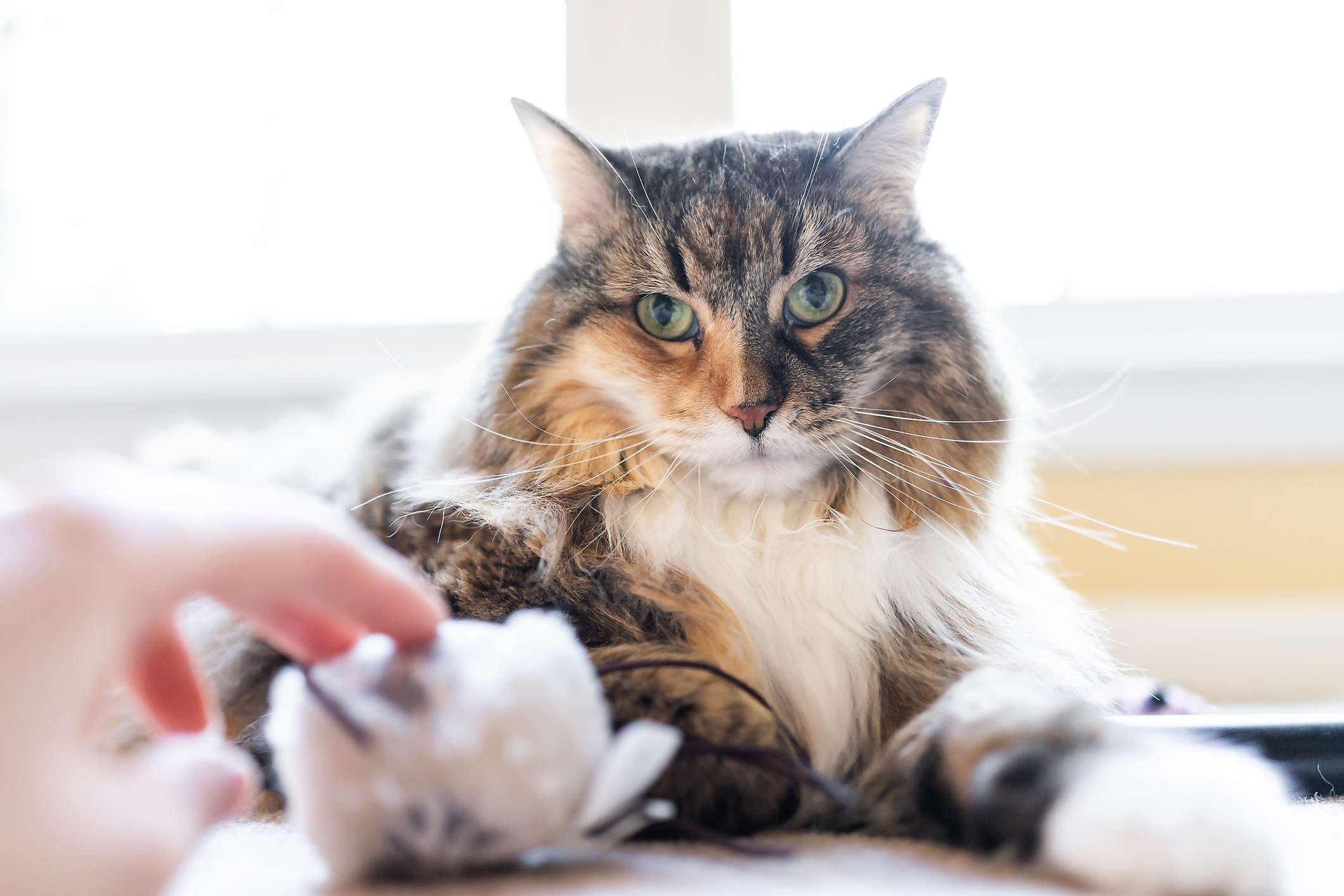 A fluffy multi-color Norwegian Forest Cat looking at the camera.