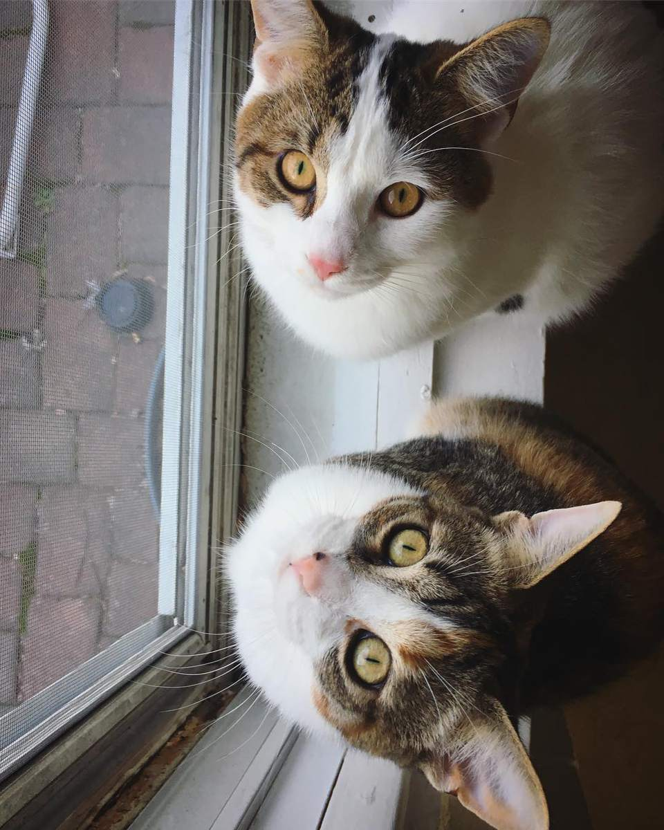 two brown and white cats looking upward