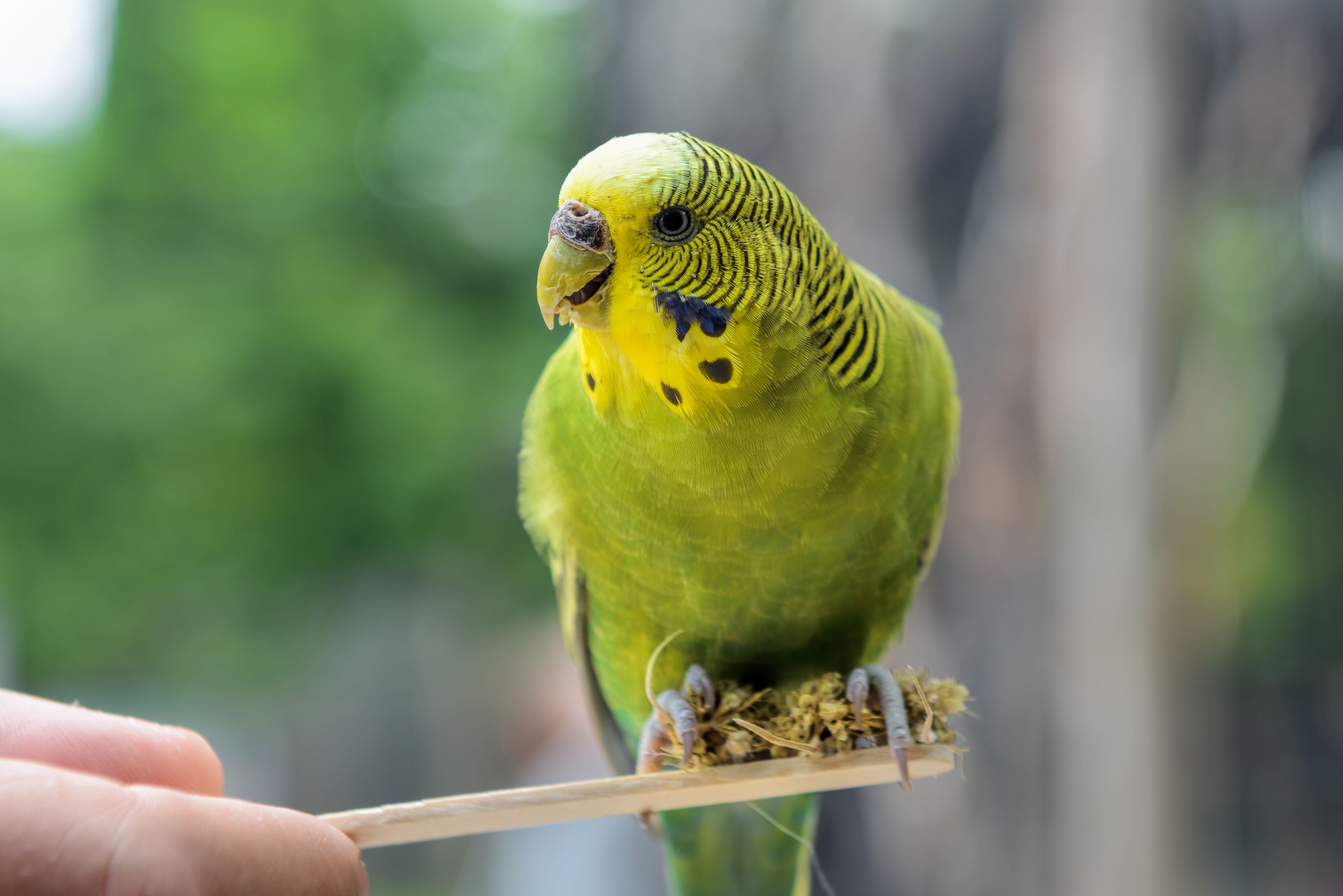 Green parakeet perched