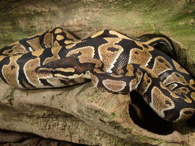 ball python life expectancy