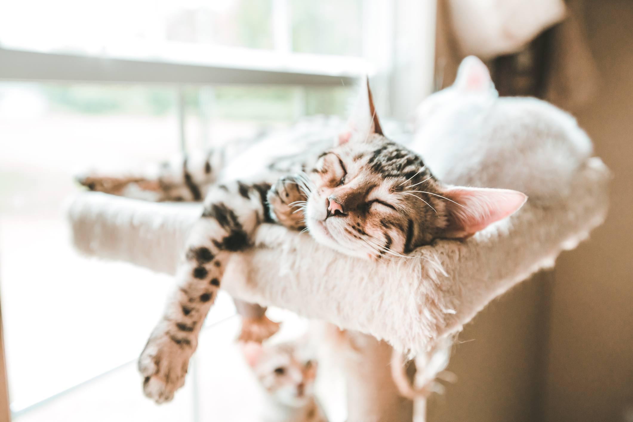 Gato con rayas de tigre que duerme en una repisa de gato