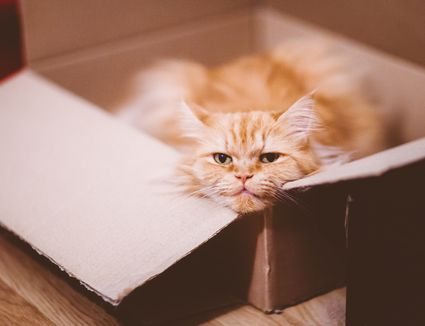 Ginger Tabby cat laying in a cardboard box