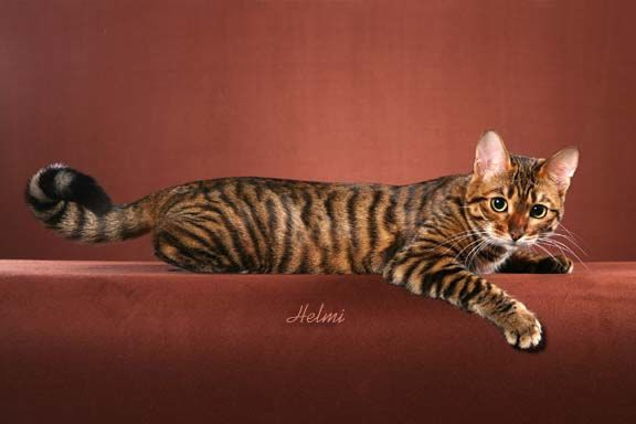 Photo of Toyger Cat