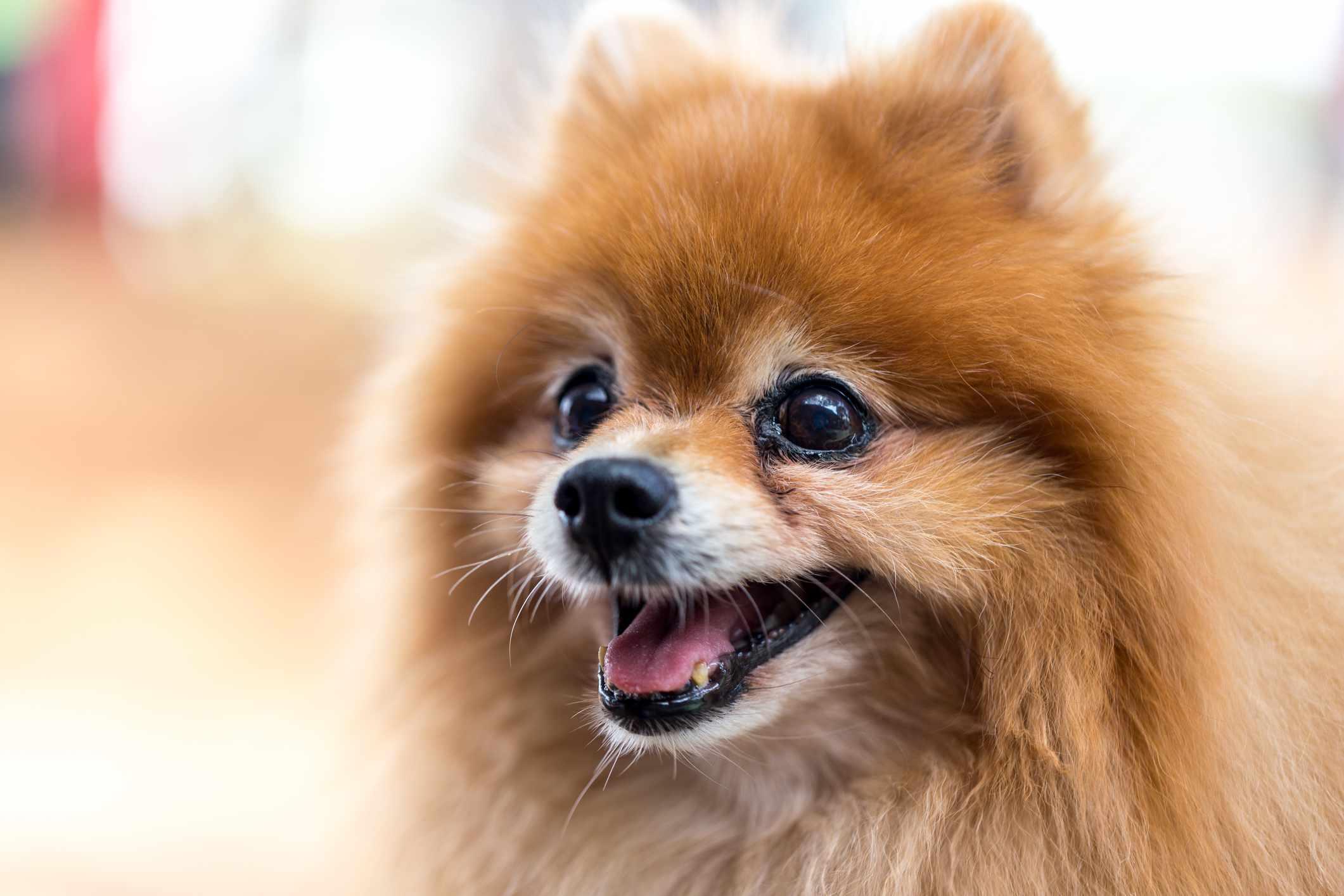 senior Pomeranian smiling Longest Living Breed of Dog by thevetscare.com