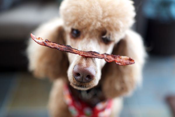 Close up of Poodle with strip of bacon balancing on its nose.