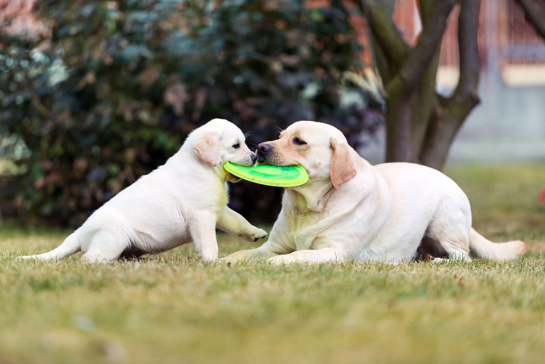 Labrador retriever cachorro jugando con su madre