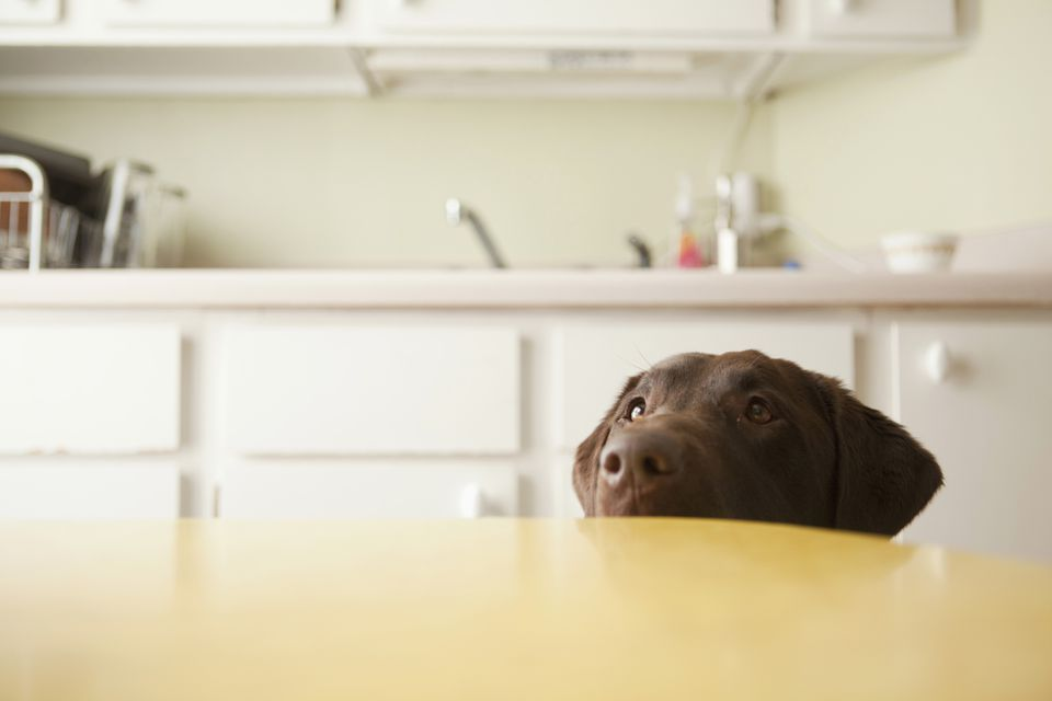 Dog's head, chocolate Labrador, emerging from beneath table