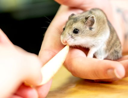 Hamster being fed an apple slice by hand
