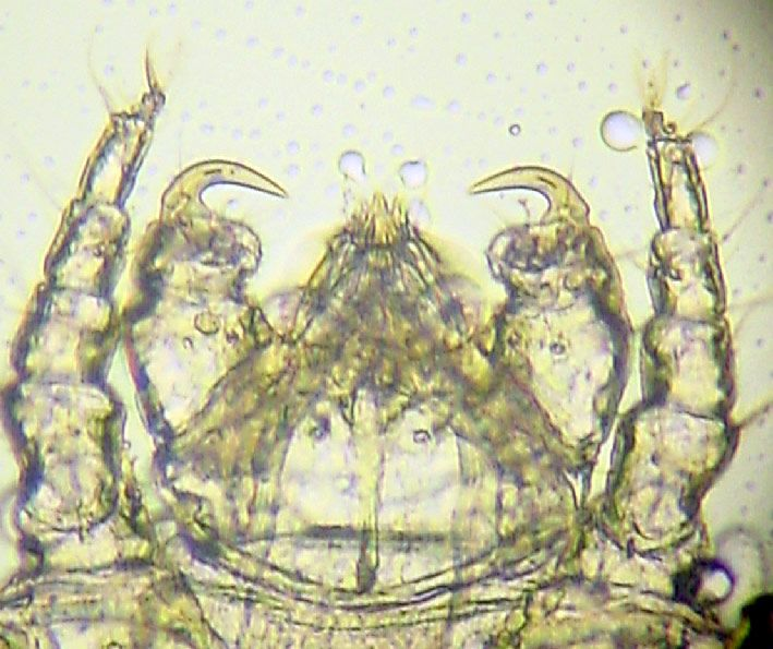 Cheyletiella mite close-up view