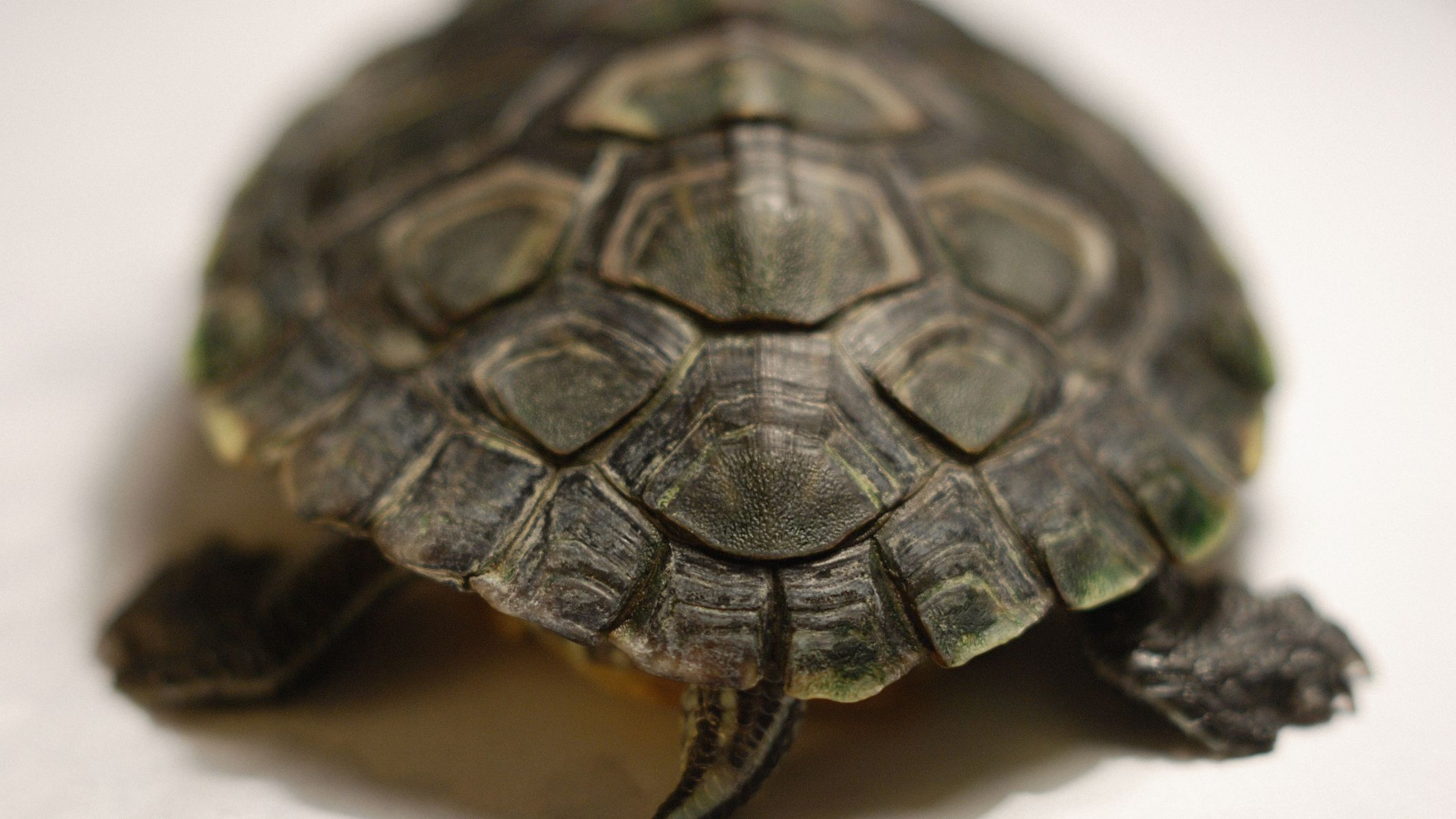 mississippi map turtle male or female Determining The Gender Of A Turtle mississippi map turtle male or female