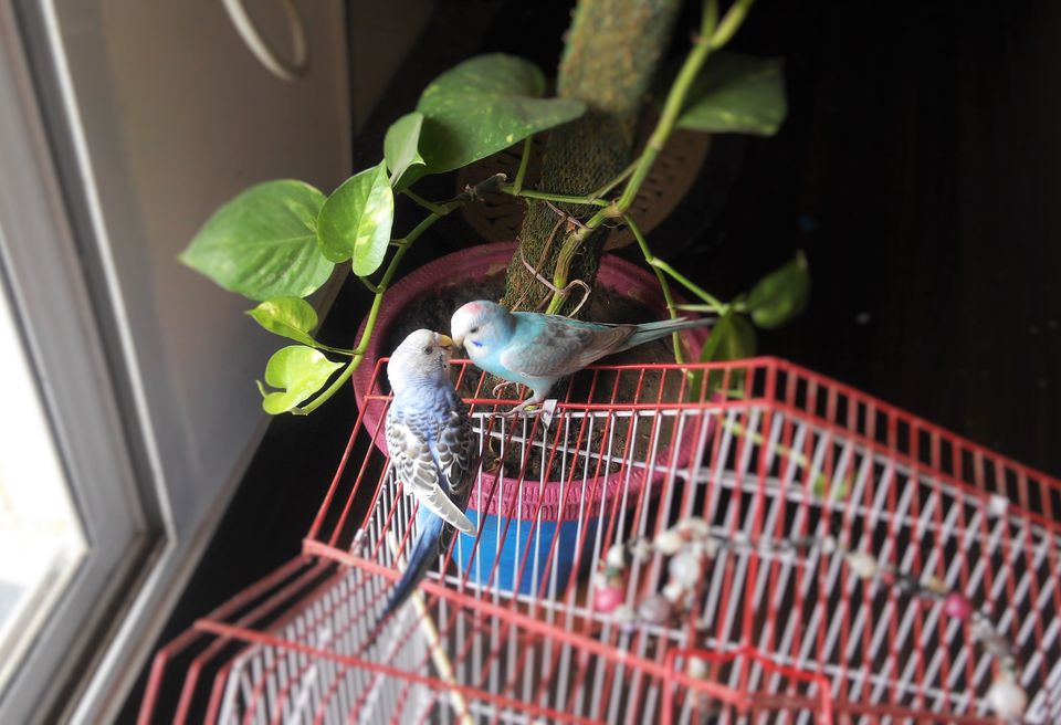 Parrots On Cage At Home