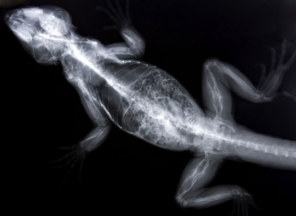 X-ray of an iguana with metabolic bone disease