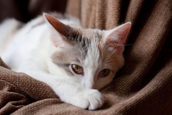 Cat lying on blanket looking at camera.