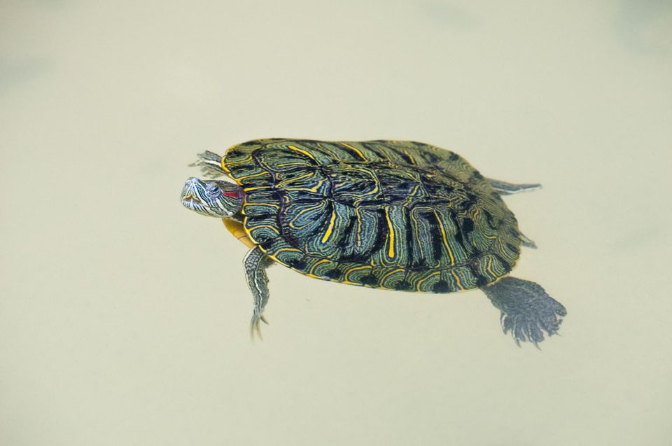 A red-eared slider turtle swimming in its tank