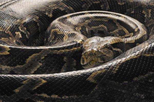 Burmese Python (Python molurus bivittatus), curled up, close up