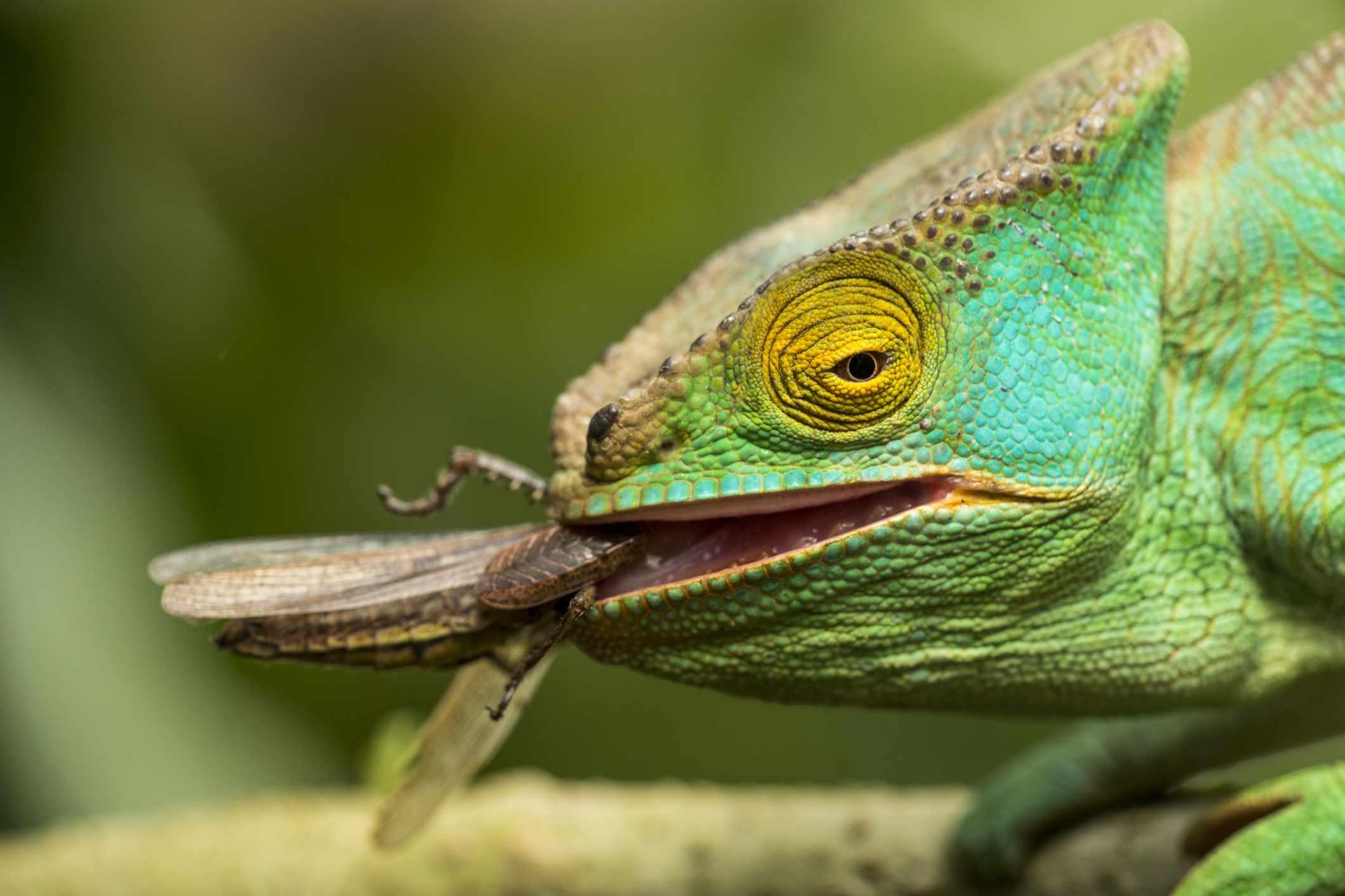 Chameleon eating a cricket