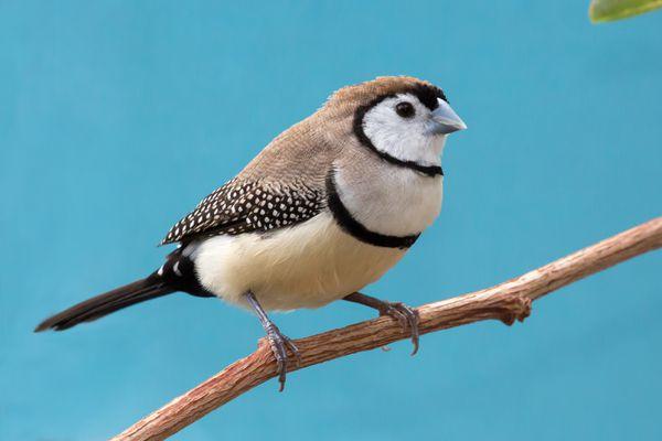 Owl Finch (Bicheno Finch)