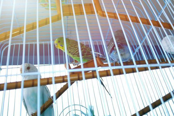 Three parakeets perched in a cage.