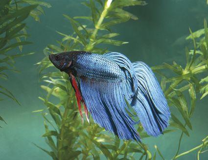 betta fish in a saltwater aquarium